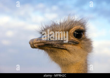 Portrait of ostrich - Stock Photo