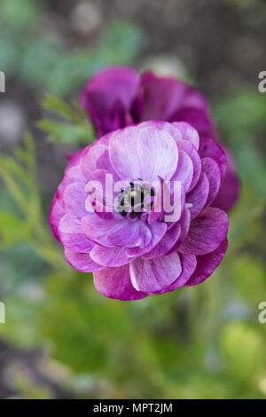 Purple Ranunculus Asiaticus flowering in May in a UK garden - Stock Photo