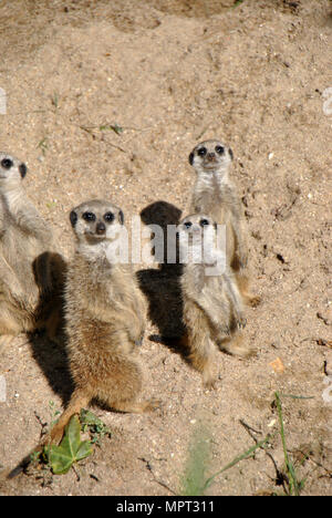 High angle shot of a meerkat family, one full grown and two young ones, looking directly and curiously in the camera - Stock Photo