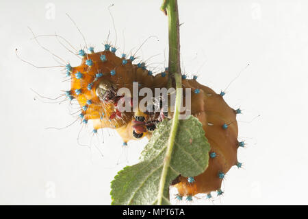 Caterpillar of the Giant Peacock Moth, Saturnia pyri, in front of white background - Stock Photo