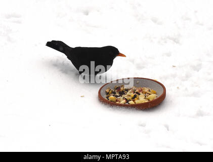 Amseln, Winter, Winterfuetterung - Stock Photo