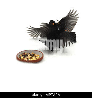 Amseln, Winterfuetterung, Kampf, Futterneid - Stock Photo