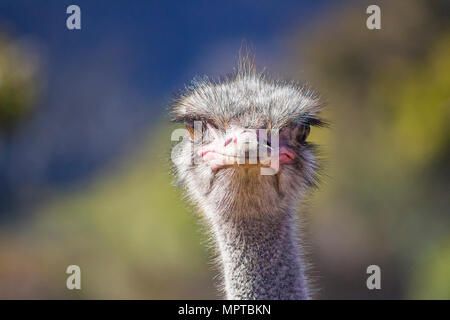 Close up of Ostrich head on with soft background - Stock Photo
