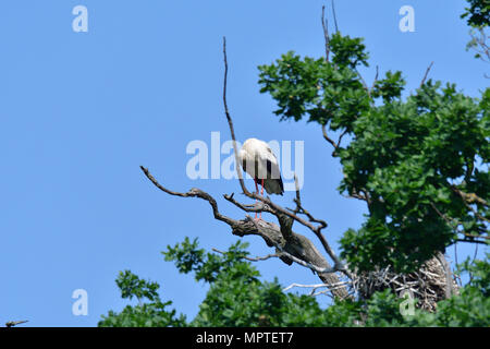 white stork high on the trees in the nest white stork high on the trees in the nest - Stock Photo