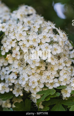Detailed close up of a wayfaring tree or viburnum lantana switzerland - Stock Photo