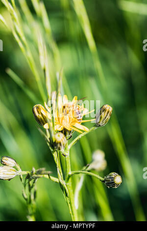 Close up of a busy bee collecting honey switzerland - Stock Photo