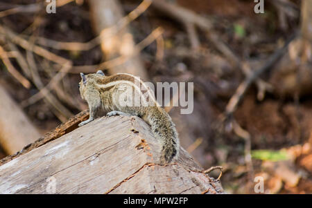Awesome close view of back side of squirrel seating on a wood in a indian zoo - Stock Photo