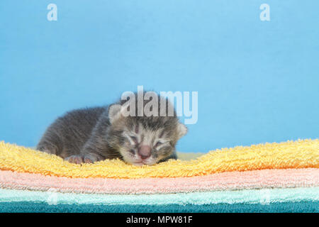 Portrait of a small dark grey stripped tabby kitten four days old laying on a stack of blankets, yellow, orange, green with blue background facing vie - Stock Photo