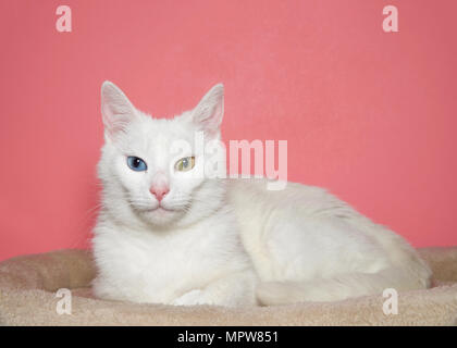 Portrait of a medium hair white cat with heterochromia, or odd eyed. One blue eye one yellow green. Laying in a light brown bed,  Pink background with - Stock Photo