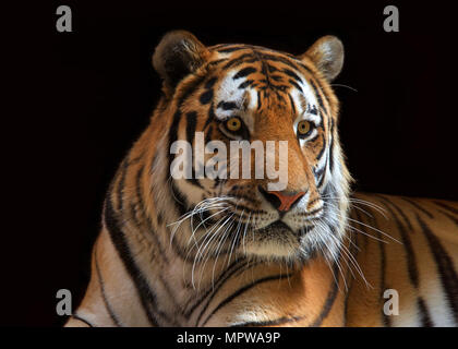 Close up portrait of one male tiger looking to viewers right. The largest cat species, most recognizable for its pattern of dark vertical stripes on r - Stock Photo
