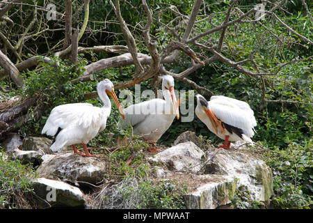 Three white pelicans with protrusions common to breeding season on their beaks, preening at the edge of a pond, old dead tree branch and leaves in bac - Stock Photo