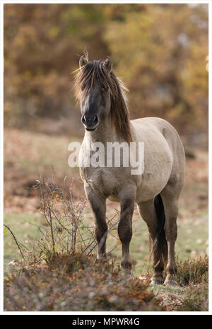 Tarpan stallion or Konik horses in autumnal landscape - Stock Photo