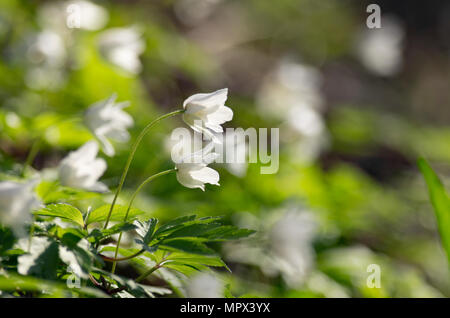 Buds of an anemony are dismissed on a meeting to the spring sun. - Stock Photo