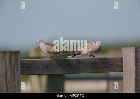 A pair of turtle doves (Streptopelia turtur) perched on a wooden paddock on an RSPB reserve in Oxfordshire, England. - Stock Photo