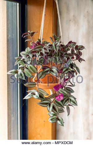Tradescantia zebrina plant in hanging pot near a window - Stock Photo
