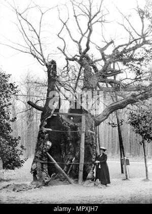 Shambles Oak, Sherwood Forest, Edwinstowe, Nottinghamshire, 1908. Artist: Alfred Newton & Sons. - Stock Photo