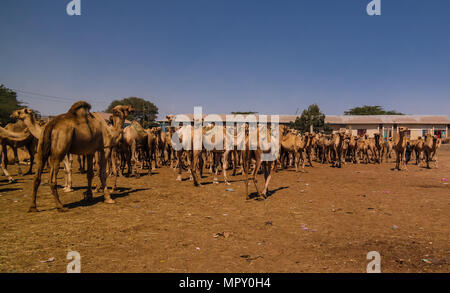 Camels in the camel market, Hargeisa, Somalia - Stock Photo