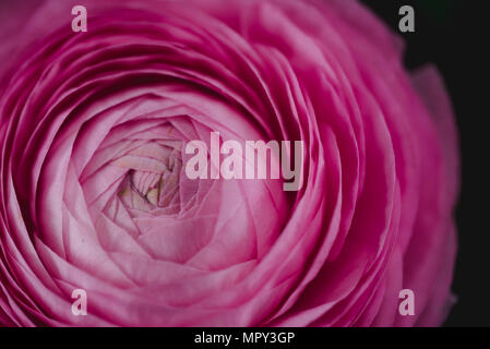 Close-up of pink ranunculus blooming outdoors - Stock Photo