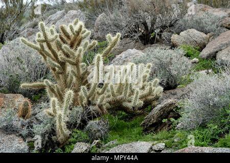 Buckhorn Cholla, Staghorn Cholla, Opuntia acanthocarpa, Cactus, Plum Canyon, Anza-Borrego Desert State Park, CA 050108_1984 - Stock Photo