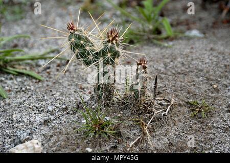 Buckhorn Cholla, Staghorn Cholla, Opuntia acanthocarpa,Cactus, Narrows Earth Trail, Anza-Borrego Desert State Park, CA  050108_1995 - Stock Photo