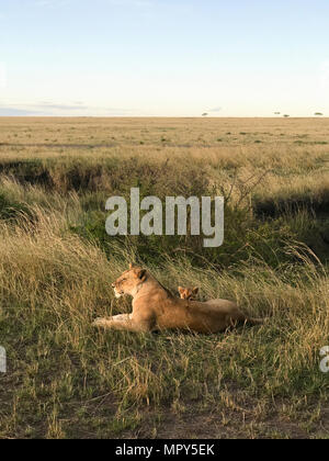 Lioness and lion cub sitting on grassy field - Stock Photo