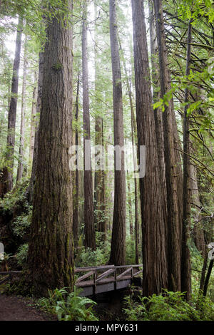 Trees growing in Redwood National and State Parks - Stock Photo