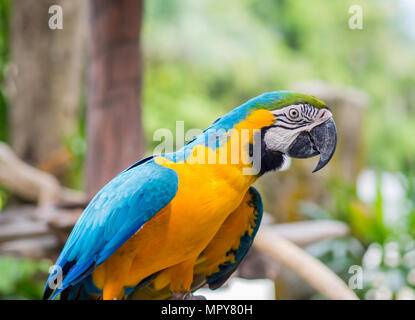 Beautiful macaws parrot on tree branch against jungle background - Stock Photo