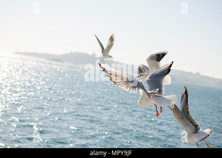 Seagulls flying over sea against clear sky during sunny day - Stock Photo