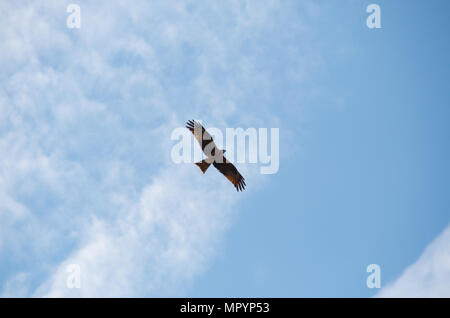 Lesser spotted eagle (aquila pomarina) flying overhead at mount rigi in switzerland near lucerne and lake lucerne. - Stock Photo