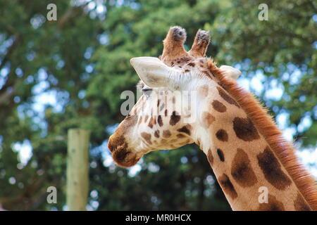 A side profile portrait of a Giraffe (Giraffa camelopardalis) - Stock Photo
