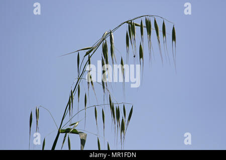 Scruffy wild oat plant with the light behind Latin name avena sterilis or sativa or fatua in Italy in springtime - Stock Photo