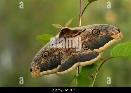 Great Peacock Moth - Saturnia pyri, beautiful large moth from Europe, Czech Republic. - Stock Photo