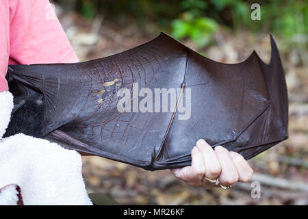 Spectacled Flying-fox (Pteropus conspicillatus). Adult female with damage to right wing membrane from barbed wire entanglement. Queensland. Australia. - Stock Photo