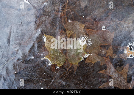 oak and maple leaves frozen in ice - Stock Photo