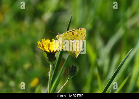 male clouded yellow butterfly Latin name colias crocea not hyale from the pieridae family on a prickly sow thistle flower in springtime in Italy - Stock Photo