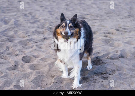 nice beautiful border collie dog play on the beach with tennis ball. outdoor activity for canine. - Stock Photo
