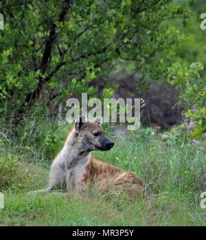 Hyena, Kruger National Park, South Africa - Stock Photo