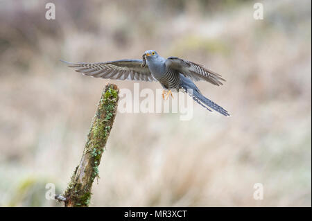 A Cuckoo (Cuculus canorus) flying back to a perch with a freshly caught caterpillar. - Stock Photo