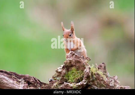 A Red Squirrel (Sciurus vulgaris) in the woodlands of Dumfries and Galloway, Scotland, UK - Stock Photo