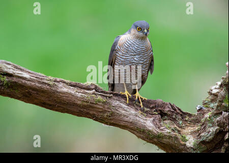 A female Sparrowhawk (Accipiter nisus) perched on a branch in British woodland. - Stock Photo