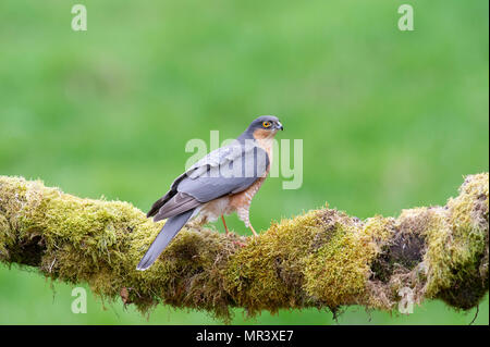 A male Sparrowhawk (Accipiter nisus) perched on a moss covered branch in British woodland. - Stock Photo