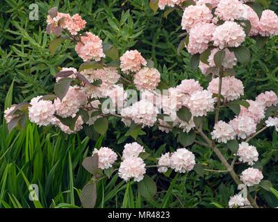 Viburnum plicatum Rosacea in flower - Stock Photo