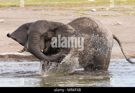 African Elephant at the Chudop Watering Hole, Etosha National Park, Namibia. - Stock Photo
