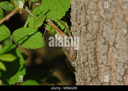 Italian wall lizard close up Latin name podarcis sicula muralis with bramble behind on an oak tree in Italy - Stock Photo