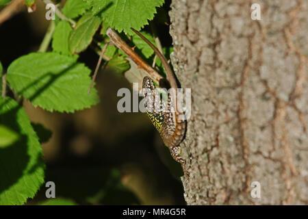Italian wall lizard close up Latin name podarcis sicula muralis with bramble behind on an oak tree in Italy - Stock Photo