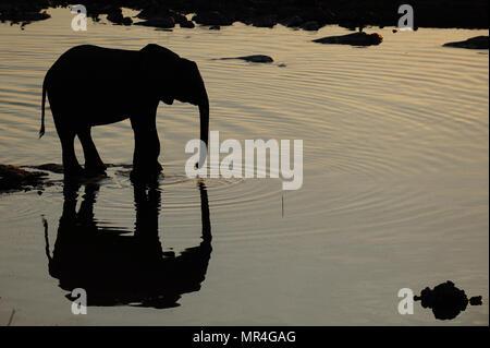 African elephant  at a waterhole with reflection, etosha nationalpark, namibia, (loxodonta africana) - Stock Photo