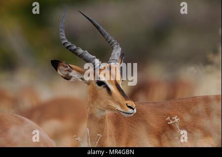 Black faced impala buck head portrait, etosha nationalpark, namibia, (aepyceros melampus petersi) - Stock Photo