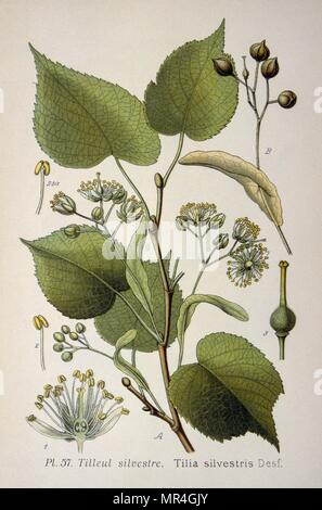leaves of the 'Tilia Silvestris', a genus of trees, native throughout most of the temperate Northern Hemisphere. Commonly called lime trees in the British Isles. From the Atlas des plantes 1793 - Stock Photo
