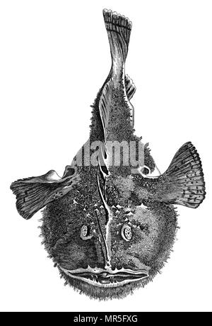 Taken from 'British Zoology' by Thomas Pennant, 1812 - Stock Photo