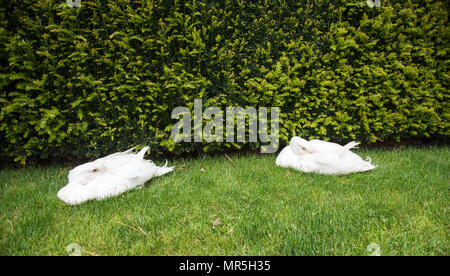 Two white geese with their beaks tucked in their feathers resting on green grass with hedge background. - Stock Photo